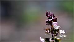 Just A New-Born (Anustup Lahiri) Tags: tulsi medicalplant plant flower