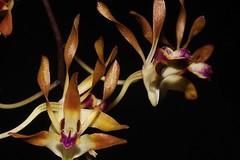 Cepobaculum canaliculatum (andreas lambrianides) Tags: cepobaculumcanaliculatum brownteatreeorchid orchidaceae dendrobiumcanaliculatum callistacanaliculata dendrobiumcanaliculatumvarnigrescens dendrobiumcanaliculatumvarpallidum australianflora australiannativeplants australianrainforests australianrainforestplants australianrainforestorchids arfp qrfp arfflowers australianrainforestflowers lithophyte epiphyte whitearfflowers cepobaculum arflithophyte arfepiphyte purplearfflowers