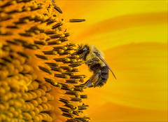 The Mouse That Roared (Kathy Macpherson Baca) Tags: animal animals bee bees earth sunflower flowers wildlife august insect insects planet nature pollen pollination bumblebee sun fly buzz seeds macro