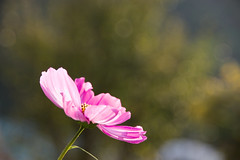 Cosmos flower (natural illusions) Tags: cosmos pink white autumn september pentax k200d rawtherapee imagemagick dof flora lb1415 allrightsreserved plant closeup bokeh flower outdoor delightful nature sunlight depthoffield backlight peace beauty pretty interesting light wow jesen