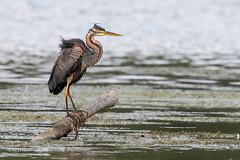 Héron pourpré qui pêche (sfrancois73) Tags: oiseau faune héronpourpré