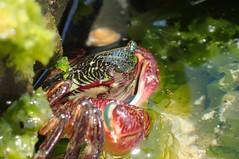 IMG_4215 (T. L. Allen, the Flyingtoolman) Tags: flyingtoolman california socal malibu leocarillostatepark tidal tidepools crab crustacean ocean pacific macro olympustg4