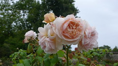 Le Havre - Les jardins suspendus (jeanlouisallix) Tags: le havre haute normandie saint adresse fort de jardin parc park garden serre tropicale paysages nature plantes botanique randonnée fleurs flowers roseraie roses