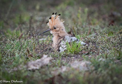 Hoopoe  /Härfågel (Upupa epops) (Hans Olofsson) Tags: bird björnö fågel hoopoe härfågel byrum sweden upupaepops indianhövding kalmarkommun fotohansolofsson wiedehopf småland
