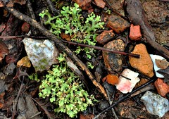 Sticks and Stones (holly hop) Tags: nature stones rocks weeds green wet rain outdoors forest abctvweather emu centralvictoria australia winter
