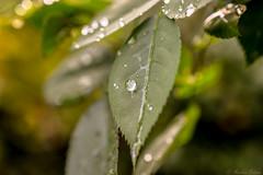 it´s a rainy day...HSS! :) (martinap.1) Tags: drops d3300 droplets drop nikon nature nikond3300 nikon40mmmacro nikon40mm makro macro rainy rain tropfen tröpfchen wassertropfen wassertröpfchen sliderssunday hss 7dwf pflanze plant green bokeh