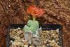 22 septembre 2017 - Conophytum x 'Hana Guruma' (Mafate79) Tags: 2017 conophytumxhanaguruma conophytum hana guruma aizoaceae aizoacées aizoacée mesemb mesembryanthemaceae mesembryanthemacées mesembryanthemacée sectionbiloba plante fleur