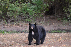 DSC_7376 Momma's getting protective (futzr.fotoz) Tags: fort simcoe state park yakima county washington north american black bear oak apple trees alert alarm acorns