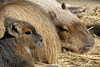 Now Let's Get Some Sleep Son, We Can Talk About That Tomorrow (Alfred Grupstra) Tags: animal mammal wildlife nature brown animalsinthewild cute fur outdoors grass younganimal eating animalsandpets closeup looking mammals animalhair small rodent standing capibara