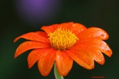 Wet Mexican sunflower (Anton Shomali - Thank you for over 1 million views) Tags: wet mexican sunflower tithonia rotundifolia warm flower flowers rain storm thunder summer season nature green red yellow central america drop drops monarchs seeds garden yard back sun clouds water sony slta77v mexico camera lens beautiful beauty nice art landscape sky photo picture frame reflections greatphotographers autofocus view macro