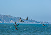 small brown pelicans cutting through the headwind (pbo31) Tags: sanfrancisco california nikon d810 color september 2017 summer goldengatenationalrecreationarea blue bay boury pbo31 nature birds pelicans fly flight earth park friends group skim skimming flying brown