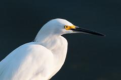 Snowy Egret Portrait (_quintin_) Tags: mountainview shoreline lake white