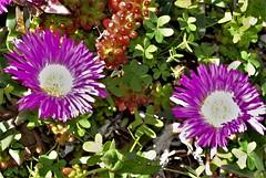 DSC_0048 : My Garden Spring 2017 (aciamax) Tags: aciamax mygarden flowers blossom bulbs hellebors spax fressias melbourne victoria australia roses camellias daffodils