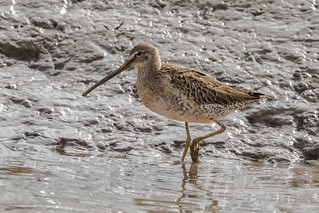 long billed dowitcher (juv)