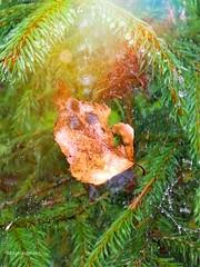 Stuck (evakongshavn) Tags: 7dwf macro macroshot close up flora makro dew waterdrops leaf web water droplets blad høst autumn fall leaves autum fallleaves autumnleaves