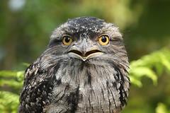 Tawny Frogmouth ♂ Podargus strigoides (Roger Wasley) Tags: tawny frogmouth male podargus strigoides kermit secretowlgarden birds