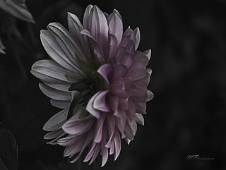 Dahlia in the dark