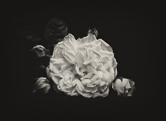 CROWN PRINCESS MARGARETA (Missy Jussy) Tags: roses flower davidaustin crownprincessmargareta climbingroses plants gardenflowers mygarden blackwhite blackandwhite bw mono monochrome canon canon5dmarkll 50mm ef50mmf18ll canon50mm fantastic50mm