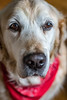 1/31: She's got that flippin' camera in my face again! (judi may) Tags: october2017amonthin31pictures petportrait pet dog goldenretriever bandana red handsome handsomeboy dof depthoffield canon7d 50mm bokeh