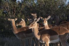 Impala on high alert (jbarc in BC) Tags: impala lion alert vigilant antelope africa southafrica easterncape wilderness lalibela