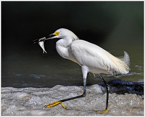 Snowy Egret with Catch by Marcia Nye - Class A Digital -  Award- September 2017