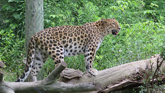 Amur leopard (Coyoty) Tags: pittsburgh pennsylvania pittsburghzooppgaquarium pa zoo animal animalplanet fauna amur leopard spotted cat bigcat pantherapardusorientalis nature feline mammal predator green brown black orange fence log wildlife life biodiversity beauty beautiful creature