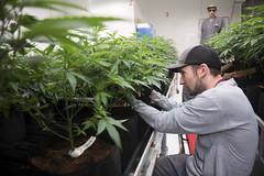 Recreational Marijuana in Las Vegas (FreezeTimeDigital) Tags: lasvegas nevada usa vegas sincity weed dope marijuana legal illegal nikond750 photojournalism crop grow