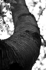 P52 Week 29   Nature (Steph*Powell) Tags: tree bark monochrome nature birch meersbrookpark texture nikond5100