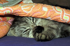 Comfort (Khaled M. K. HEGAZY) Tags: nikon coolpix p520 maadi cairo egypt indoor closeup macro cat pet animal feline yellow white orange pink black المعادى هر هرة قط قطة