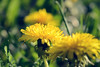Dandelion (Kapitalist63) Tags: blowball dandelin plants flora nature