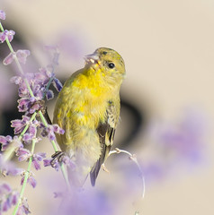 Yellow Bird. (Omygodtom) Tags: wildlife wild yellow yahoo existinglight explorer flickr flower bird bokeh goldfinch outside nikkor natural nikon dof d7100 branch nikon70300mmvrlens usgs urbunnature
