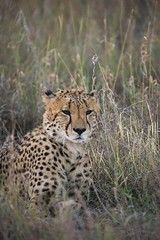 Patience! (Jambo53 (Robert Kok)) Tags: cheetah jachtluipaard robertkok wildlife nature natuur southafrica zuidafrika mammal zoogdier roofdier predator madikwe grass gras