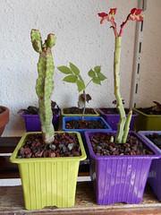 Euphorbia sp et Monadenium coccineum