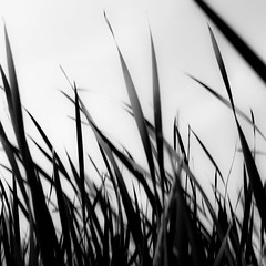 Marshland Grasses 052 (noahbw) Tags: d5000 dof nikon prairiewolfsloughforestpreserve abstract blackwhite blackandwhite blur bw depthoffield grass landscape marshland monochrome natural noahbw prairie square summer wetlands