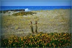 Fleurs de dune (bleumarie (peu présente, désolée !)) Tags: été été2017 littoralméditerranéen mariebousquet mididelafrance suddelafrance bleumarie côte catalogne france littoral méditerranée mer midi nikond3100 pyrénéesorientales roussillon saintemarie saintemarielamer sud vacances nature fleur flore dune floredesdunes fleursdesdunes vague rocher horizon sable plage jaune vert bleu sauvage tapisdefleurs griffesdesorcière
