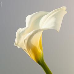 _MG_5981 (Alexander Fedin) Tags: flower flowers blossom blossoms calla lily