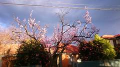 Plum blossoms and pink camelias in the Winter sunshine (avlxyz) Tags: winter sakura plumblossoms prunus sunshine darkclouds flowers fb