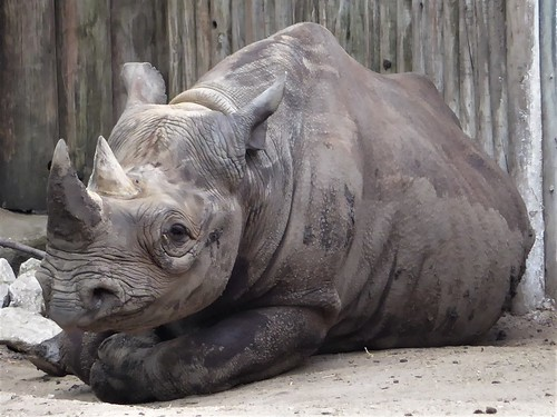 Chicago, Lincoln Park Zoo, Rhinocerous