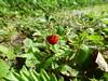 Walderdbeere (Wuppataler) Tags: walderdbeere enztat radweg enz radreise fahrrad grün rot green red frucht fruit eifel