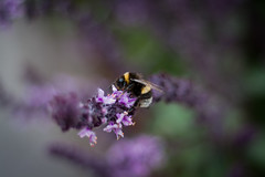 The Bumblebee (janmalteb) Tags: animal canon bokeh bumblebee bee flower 50mm eos green garden garten grün insect wings light macro ostsee purple wildlife bremen deutschland germany schwachhausen balkon