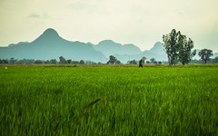 The pace of Famer (Flutechill) Tags: ricepaddy asia nature ricecerealplant agriculture ruralscene thailand mountain landscape farm field outdoors growth greencolor scenics ricefoodstaple hill mountainpeak mountainrange landscapes