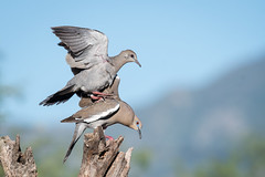 Get Off My Back! (Melissa James Photography) Tags: zenaidaasiatica whitewingeddove arizona tucson birdlanding mountains feathers gray dove