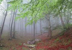 Oasis de frescor (Begoña Fernández) Tags: basquecountry lendoño iturrigorri tologorri sendanegra pagadia hayedo beechforest hêtraie lainoa niebla mist brouillard sierra sálvada gorobel euskalherria bizkaia araba