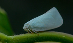 Northern Flatid Planthopper (Summerside90) Tags: insects august summer northernflatidplanthopper backyard garden nature wildlife ontario canada