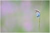 Het heideblauwtje - mannetje (Plebejus argus, voorheen geschreven als Plebeius argus) (Martha de Jong-Lantink) Tags: 2017 heideblauwtje heideblauwtjemannetje judithborremans plebejusargus strijbeekseheide vlinder vlinderreizen vlinderexcursie vlinders