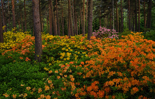Azaleas In Different Colors