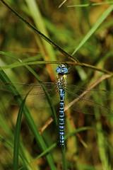 _DSC8603- Southern Migrant Hawker (steve R J) Tags: southern migrant hawker canvey island essex dragonfly british odonata