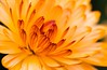 Gorgeous glow (kimbenson45) Tags: closeup colorful colourful differentialfocus flower macro nature orange petals plant red shallowdepthoffield yellow