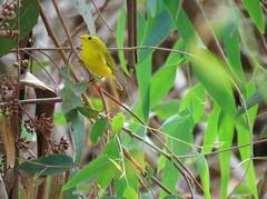Wilson's Warbler - Madrona Marsh (weezerbee9) Tags: