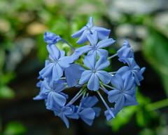 Blue Flowers, Como Conservatory (Sharon Mollerus) Tags: comoparkzooandconservatory saintpaul minnesota unitedstates us cfptig17